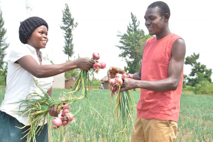 Rikolto boosting returns on Kwapa's Onion Farmers investment in Eastern Uganda