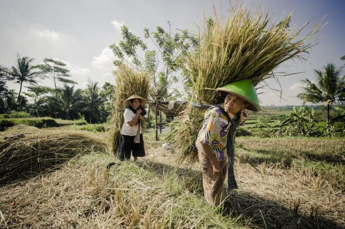 Promoting sustainable and inclusive rice value chain in Indonesia
