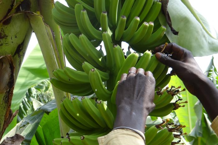 Bananas from Senegal
